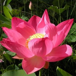 Lotus-sagrada Vermelha