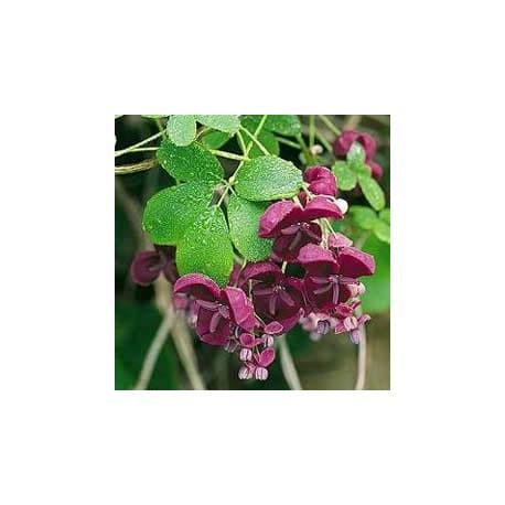 Videira-chocolate (Akebia quinata)