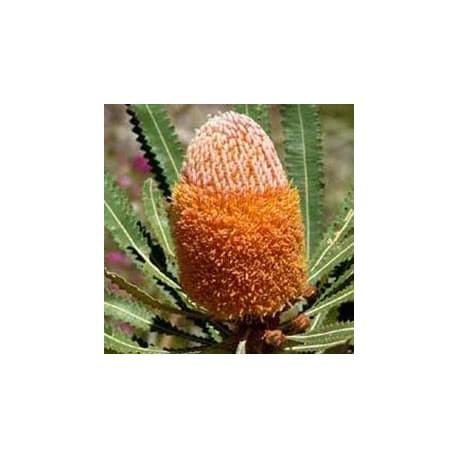 Hooker's Banksia (Banksia hookeriana)