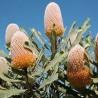 Banksia-laranja (Banksia prionotes)