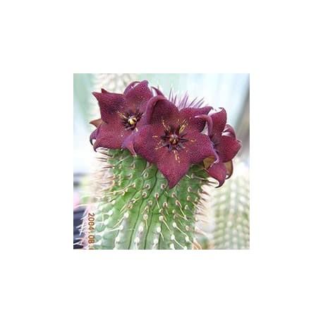 Rainha-da-Namíbia (Hoodia ruschii)
