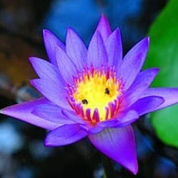 Lotus-azul do Nilo