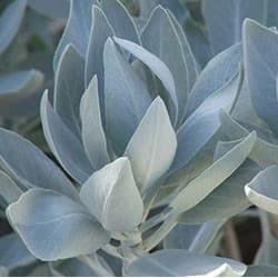 Salvia-branca (Salvia apiana)