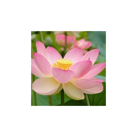 Lotus-sagrada (Nelumbo nucifera)
