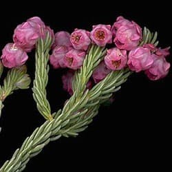 Flor-do-urzal