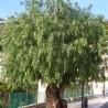 Aroeirinha (Schinus molle)