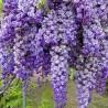 Glicínia-azul (Wisteria sinensis)