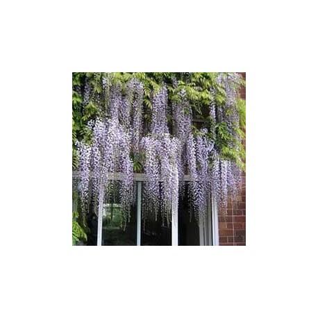 Glicínia-japonesa (Wisteria floribunda)