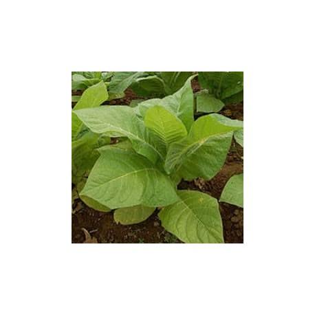 "Tabaco ""Golden Virginia"" (Nicotiana tabacum)"