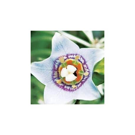 Sino-asiático (Codonopsis clematidea)