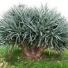 Aljava-de-solteira (Aloe ramosissima)