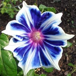 "Morning Glory ""Kikyo Snowflake"""
