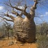 Baobá Fony (Adansonia rubrostipa)