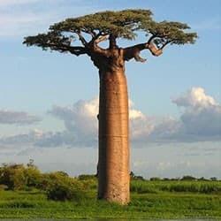 Baobá de Grandidieri