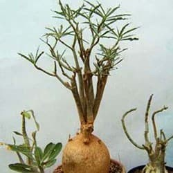 Rosa-do-deserto (Adenium solamense)