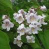 Catalpa-do-sul (Catalpa bignonioides)