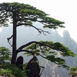 Pinheiro-de-Huangshan