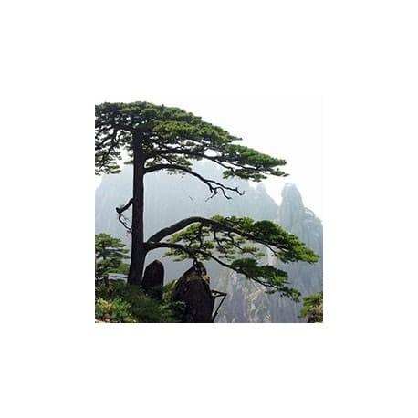 Pinheiro-de-Huangshan (Pinus hwangshanensis)