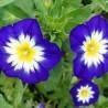 Morning Glory Anã (Convolvulus tricolor)