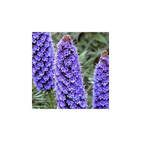 Orgulho-de-madeira (Echium fastuosum)