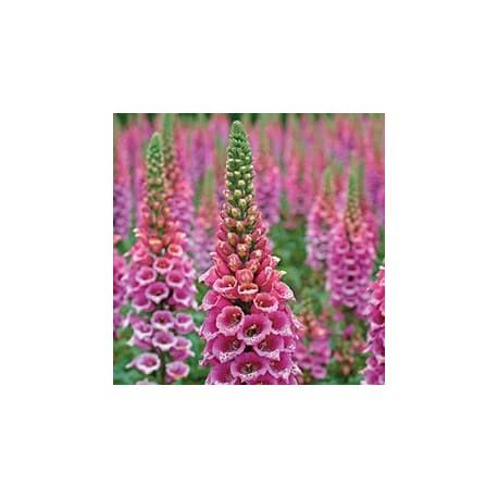 Dedaleira-roxa (Digitalis purpurea)