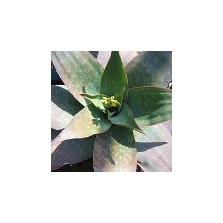 Aloe reynoldsii
