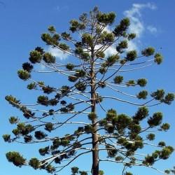 Pinheiro-de-Queensland