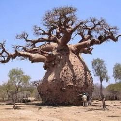 Baobá-australiano