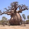 Baobá-australiano (Adansonia gregorii)