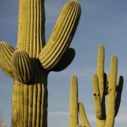 Cacto Saguaro (Carnegiea gigantea)