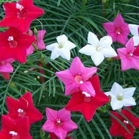 "MIX - Ipomoea quamoclit ""Star Glory"""
