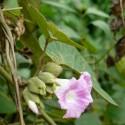 Argyreia wallichii