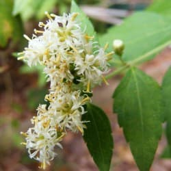 Erva-do-sonho (Calea zacatechichi)