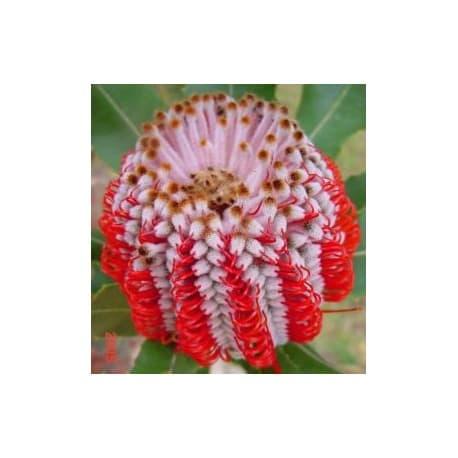 Banksia-escarlate (Banksia coccinea)