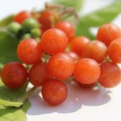 Otricoli-laranja (Solanums nigrum)