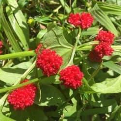 Morango-espinafre (Chenopodium capitatum)