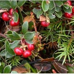 Uva-de-urso (Arctostaphylos uva-ursi)