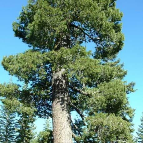 Pinheiro-branco da Califórnia (Pinus monticola)