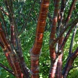 Cerejeira-tibetana