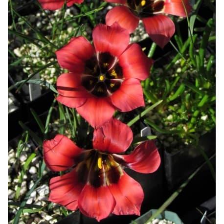 Romulea (Romulea sabulosa)