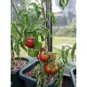 "Tomate ""Black Krim"" (Lycopersicon esculenton)"