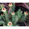 Ponta-de-chama (Leucadendron discolor)