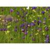 Copo-de-vinho (Geissorhiza radians)