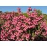 Flor-do-urzal (Erica baccans)