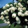 Hortência-paniculada (Hydrangea paniculata)
